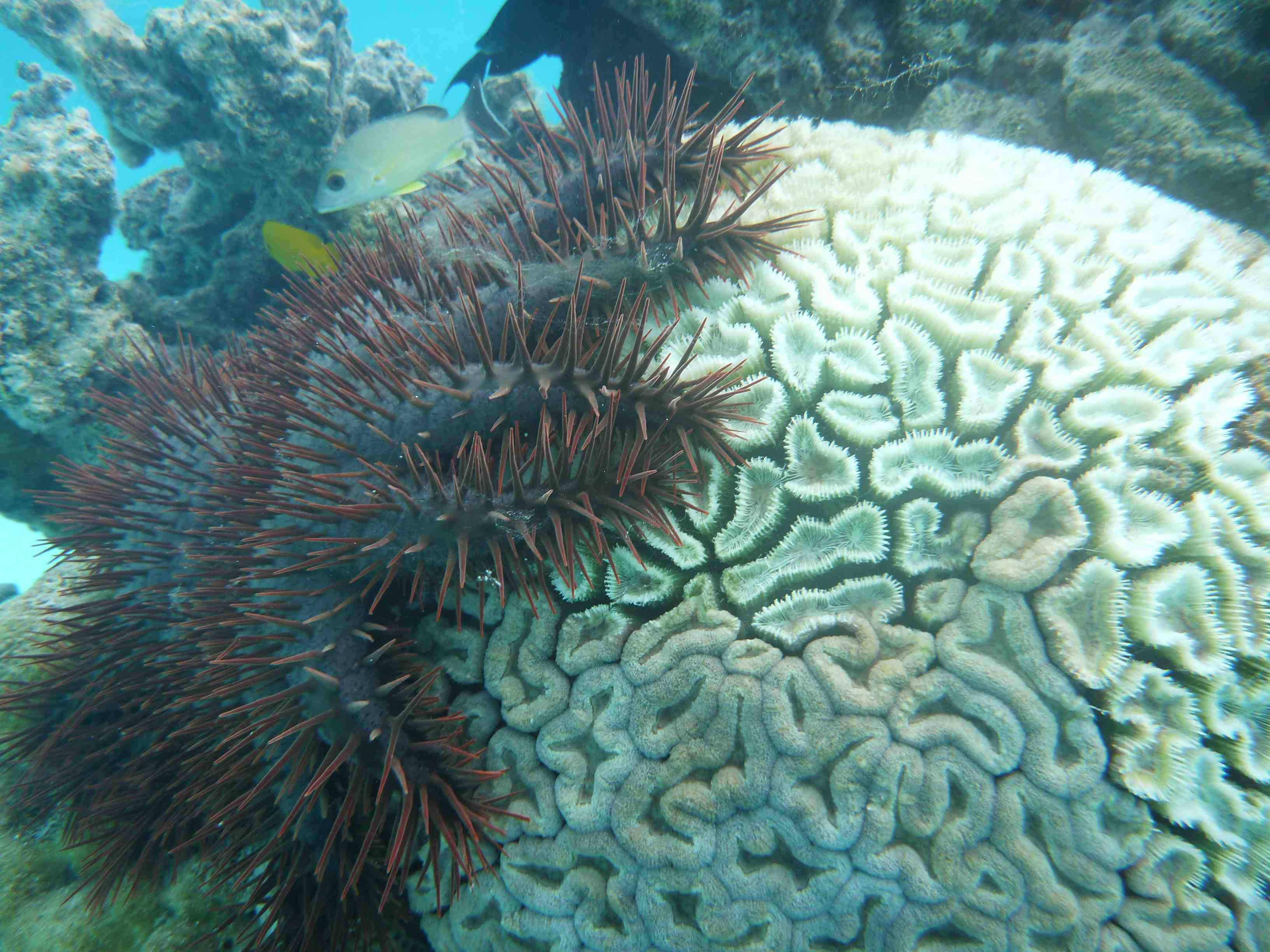 Operation COT: crown of thorns sea stars | Pacific Islands ...